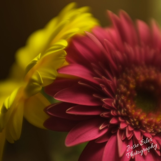 The Gerbera Daisies