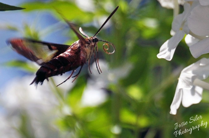 The Hummer Moth