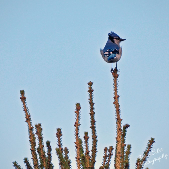 The Windblown Blue Jay
